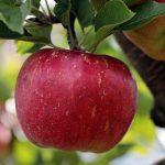 une pomme sur un pommier, aliment numéro 1 pour des dents saines