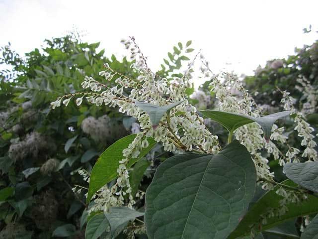 Renouée du Japon en photo (fallopia japonica)