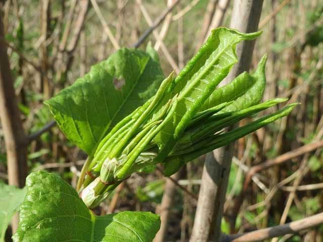 Reynoutria japonica = renouée du japon