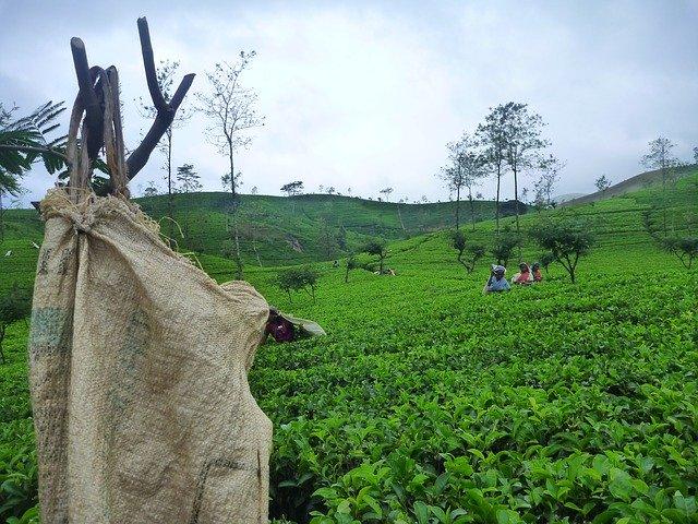 Culture de thé au Sri Lanka avec beaucoup de théier
