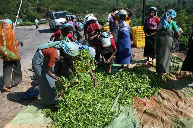 La récolte du thé du Ceylan avec des  feuilles séchées de théier, au sol