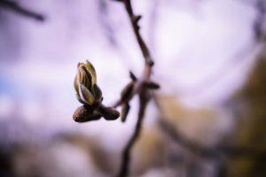 Les bourgeons de cassis : bienfaits et utilisations