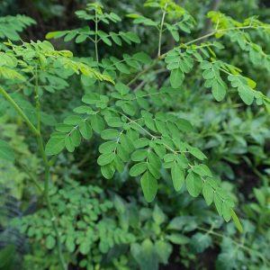 Les bienfaits de la Moringa Oleifera pour la santé