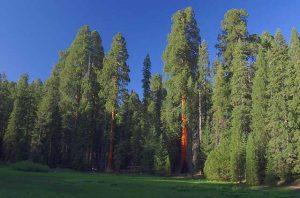 Extrait/macérât de bourgeon de séquoia : Bienfaits, propriétés et utilisations