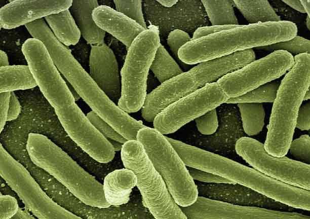 Des bactéries comme ceux qui peuvent se trouver dans notre flore intestinale