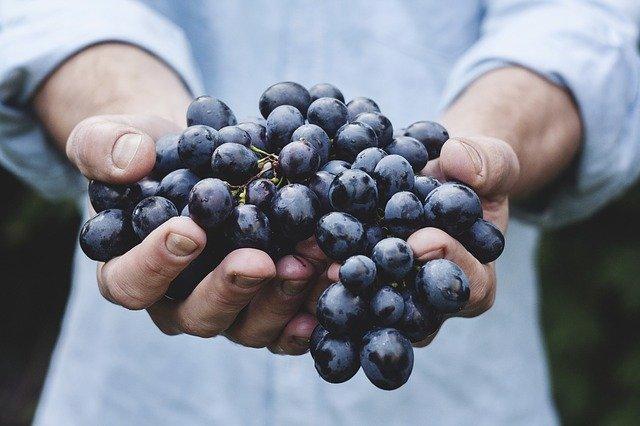 Des grappes de raisins ( à utiliser par exemple en monodiète)